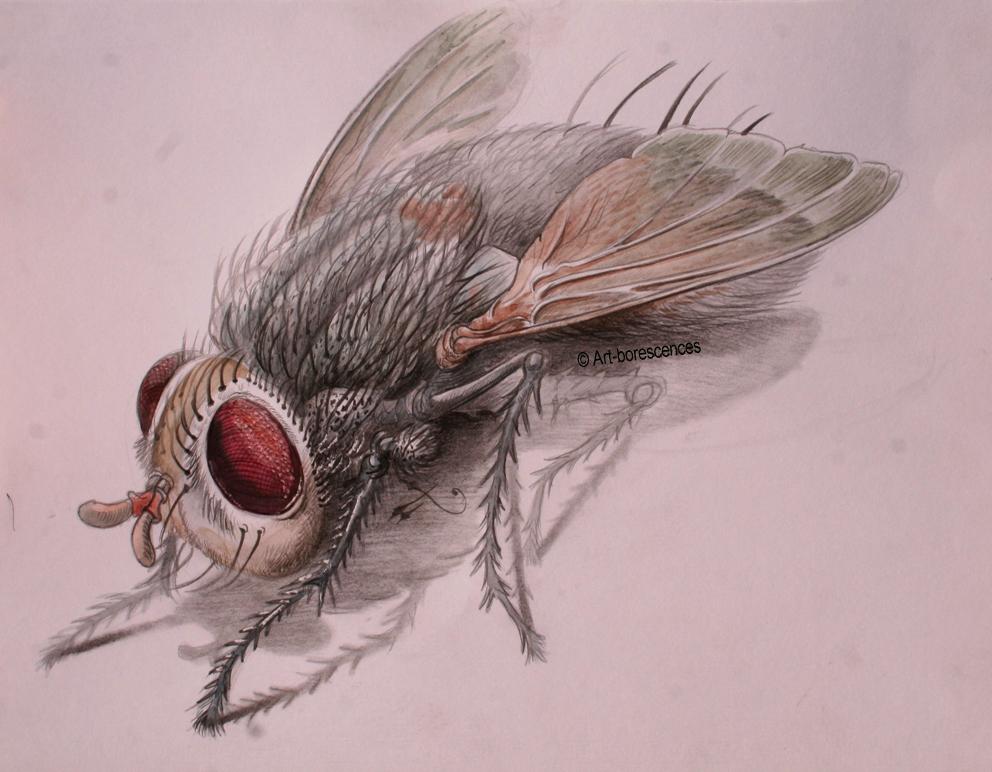 Pourquoi une mouche art borescences portraits - Dessin de mouche ...